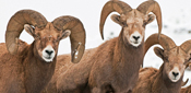 Hunt Bighorn Sheep